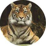 Наклейка на запаску тигр